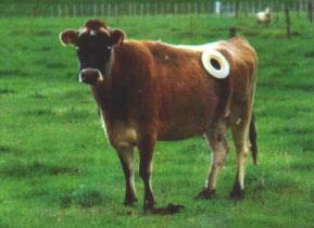 Fistulated Cow